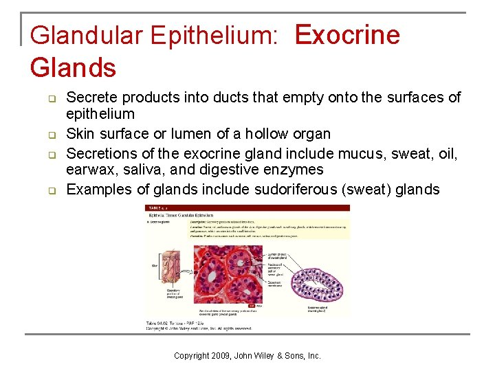 Glandular Epithelium: Exocrine Glands q q Secrete products into ducts that empty onto the