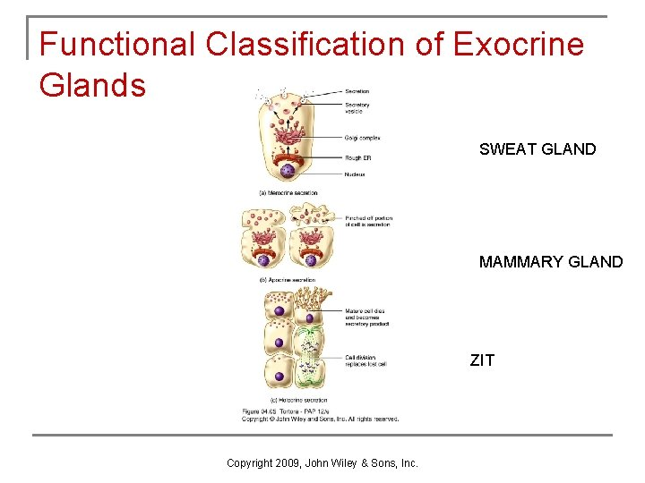 Functional Classification of Exocrine Glands SWEAT GLAND MAMMARY GLAND ZIT Copyright 2009, John Wiley