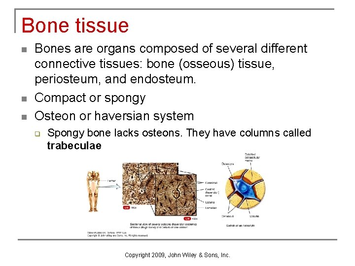 Bone tissue n n n Bones are organs composed of several different connective tissues: