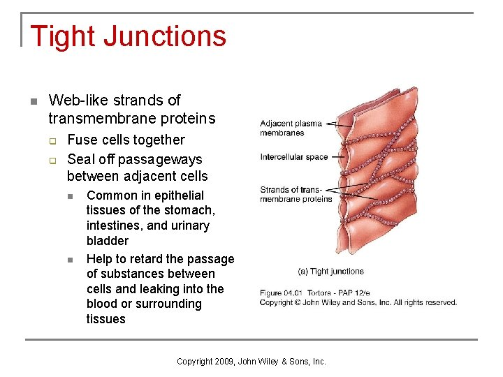 Tight Junctions n Web-like strands of transmembrane proteins q q Fuse cells together Seal