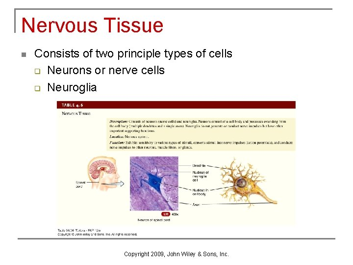 Nervous Tissue n Consists of two principle types of cells q Neurons or nerve