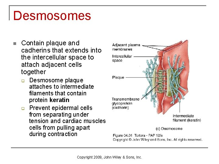 Desmosomes n Contain plaque and cadherins that extends into the intercellular space to attach