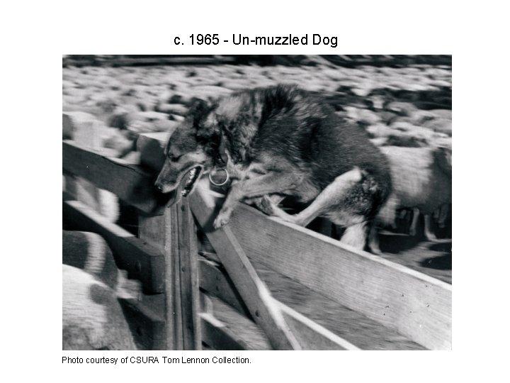 c. 1965 - Un-muzzled Dog Photo courtesy of CSURA Tom Lennon Collection.