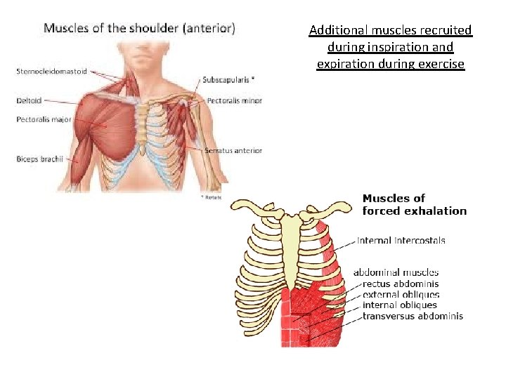 Additional muscles recruited during inspiration and expiration during exercise