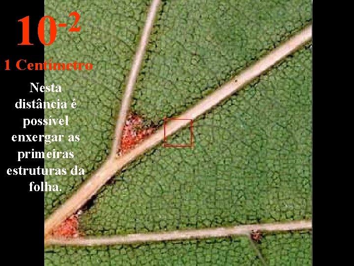 -2 10 1 Centímetro Nesta distância é possível enxergar as primeiras estruturas da folha.