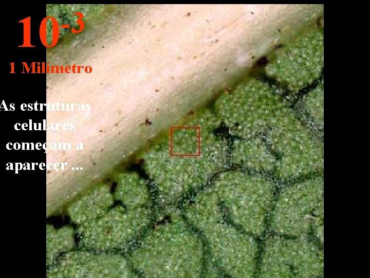 -3 10 1 Milímetro As estruturas celulares começam a aparecer. . .