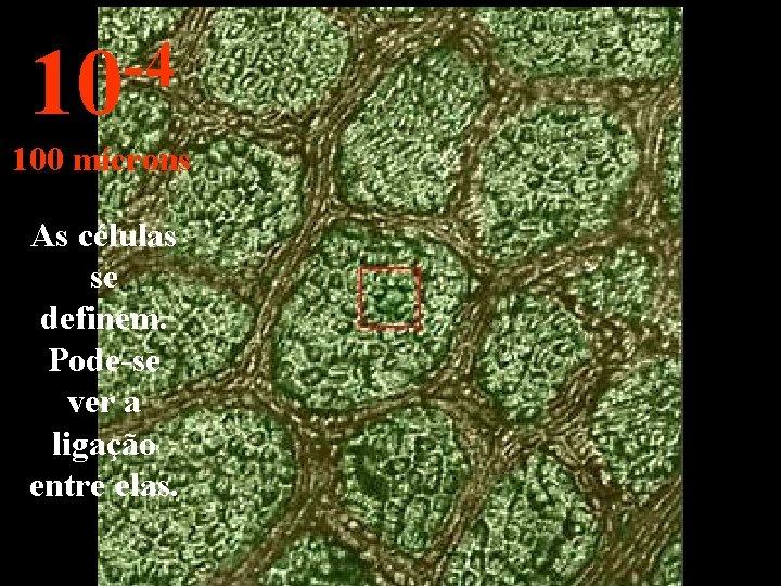 -4 10 100 mícrons As células se definem. Pode-se ver a ligação entre elas.
