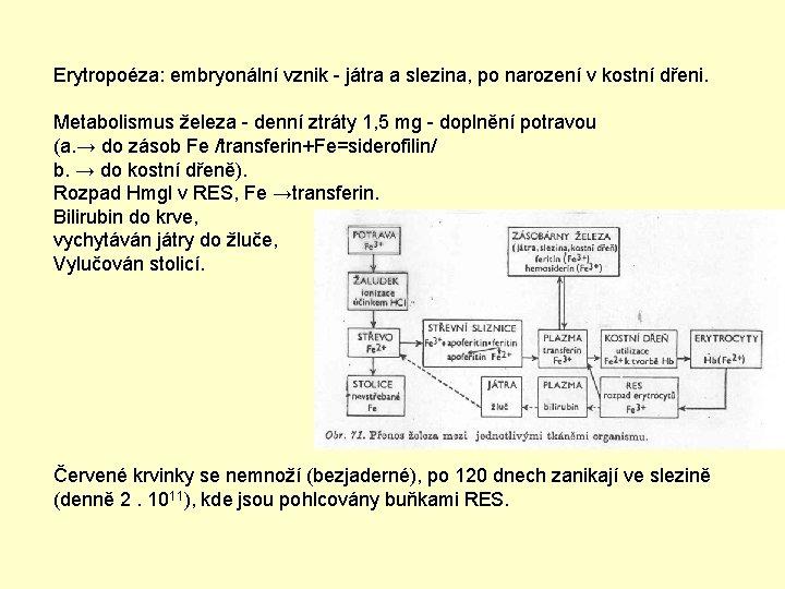 Erytropoéza: embryonální vznik - játra a slezina, po narození v kostní dřeni. Metabolismus železa