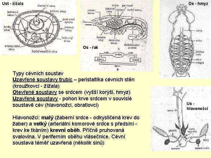 Ust - žížala Os - hmyz Os - rak Typy cévních soustav Uzavřené soustavy