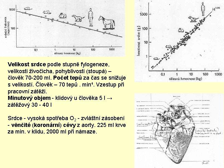 Velikost srdce podle stupně fylogeneze, velikosti živočicha, pohyblivosti (stoupá) – člověk 70 -200 ml.