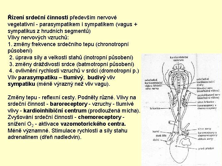 Řízení srdeční činnosti především nervové vegetativní - parasympatikem i sympatikem (vagus + sympatikus z