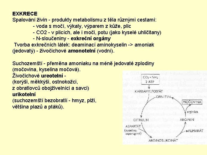 EXKRECE Spalování živin - produkty metabolismu z těla různými cestami: - voda s močí,