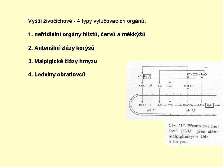 Vyšší živočichové - 4 typy vylučovacích orgánů: 1. nefridiální orgány hlístů, červů a měkkýšů