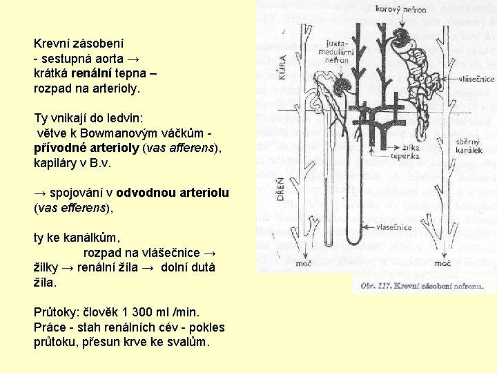 Krevní zásobení - sestupná aorta → krátká renální tepna – rozpad na arterioly. Ty