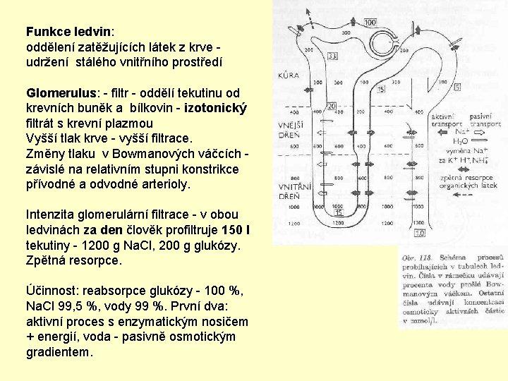 Funkce ledvin: oddělení zatěžujících látek z krve - udržení stálého vnitřního prostředí Glomerulus: -