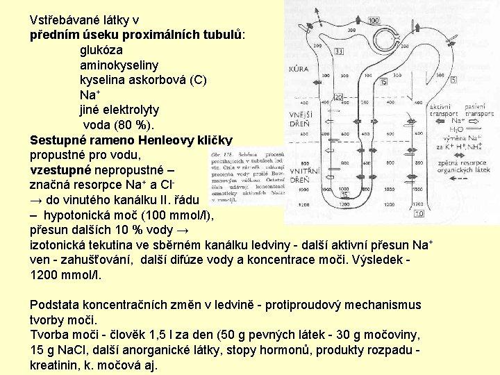 Vstřebávané látky v předním úseku proximálních tubulů: glukóza aminokyseliny kyselina askorbová (C) Na+ jiné