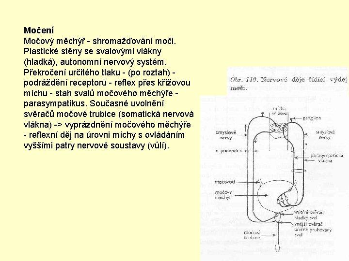 Močení Močový měchýř - shromažďování moči. Plastické stěny se svalovými vlákny (hladká), autonomní nervový
