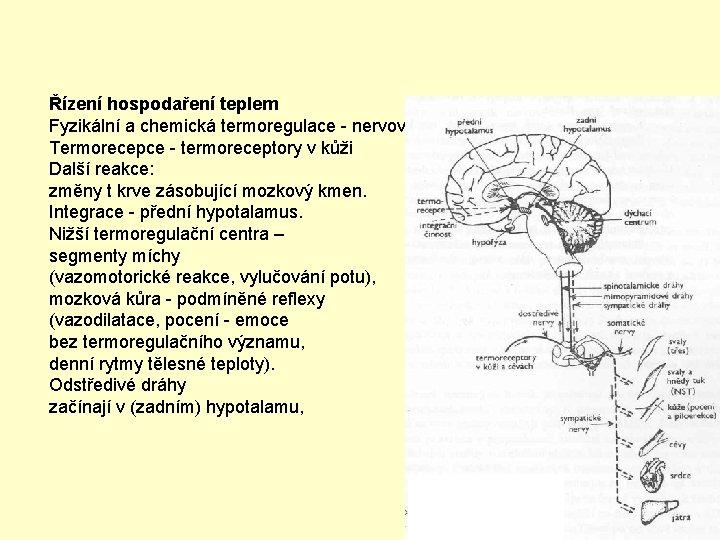 Řízení hospodaření teplem Fyzikální a chemická termoregulace - nervový a endokrinní systém Termorecepce -