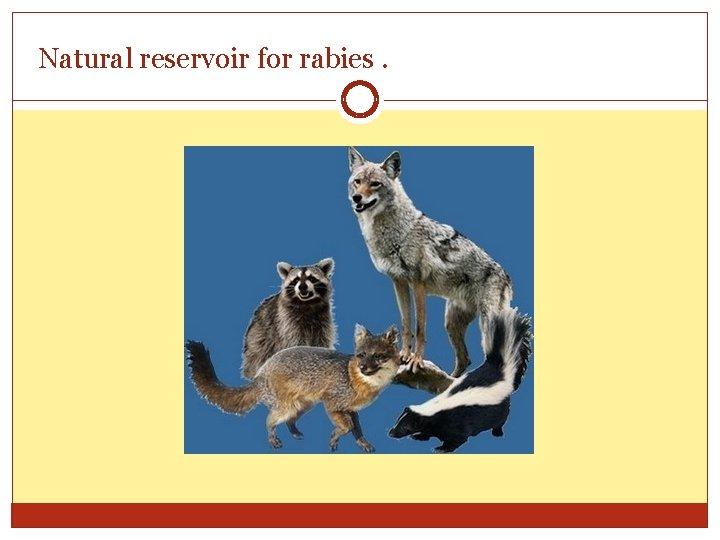 Natural reservoir for rabies.