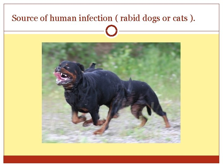 Source of human infection ( rabid dogs or cats ).