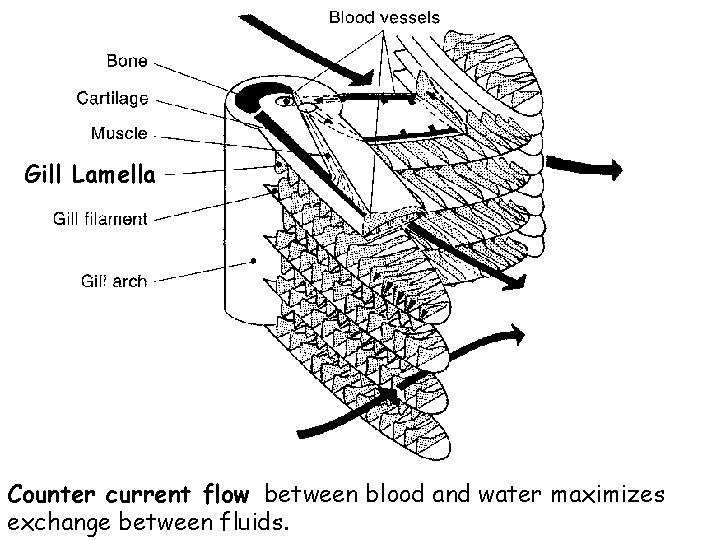 Gill Lamella Counter current flow between blood and water maximizes exchange between fluids.