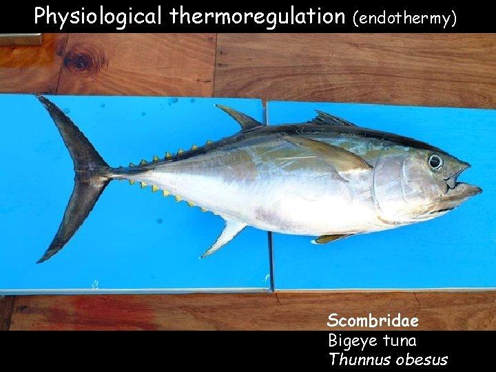 Physiological thermoregulation (endothermy) Scombridae Bigeye tuna Thunnus obesus