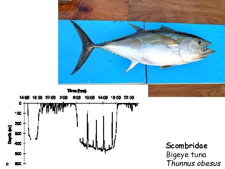 Scombridae Bigeye tuna Thunnus obesus