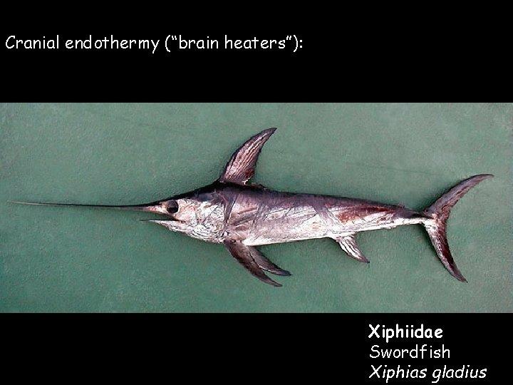 "Cranial endothermy (""brain heaters""): Xiphiidae Swordfish Xiphias gladius"