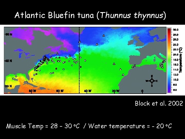 Atlantic Bluefin tuna (Thunnus thynnus) Block et al. 2002 Muscle Temp = 28 –