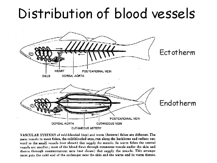 Distribution of blood vessels Ectotherm Endotherm