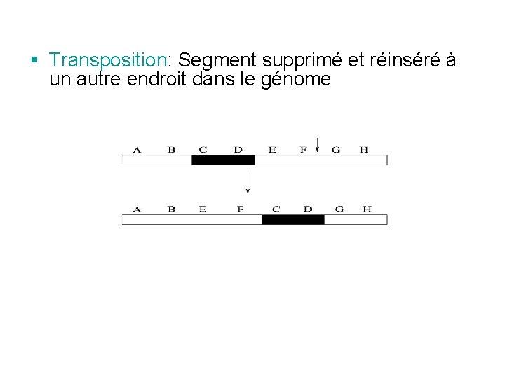 § Transposition: Segment supprimé et réinséré à un autre endroit dans le génome