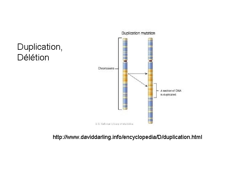Duplication, Délétion http: //www. daviddarling. info/encyclopedia/D/duplication. html