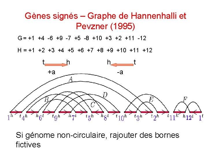 Gènes signés – Graphe de Hannenhalli et Pevzner (1995) G = +1 +4 -6