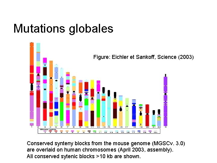 Mutations globales Figure: Eichler et Sankoff, Science (2003) Conserved synteny blocks from the mouse