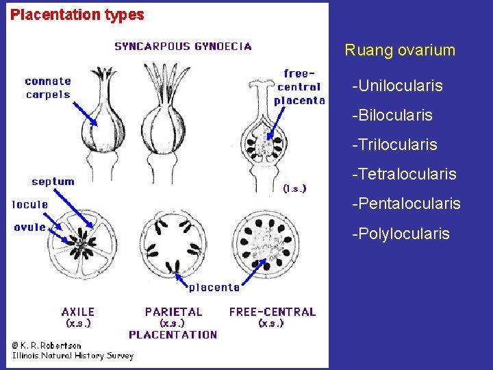 Ruang ovarium -Unilocularis -Bilocularis -Trilocularis -Tetralocularis -Pentalocularis -Polylocularis