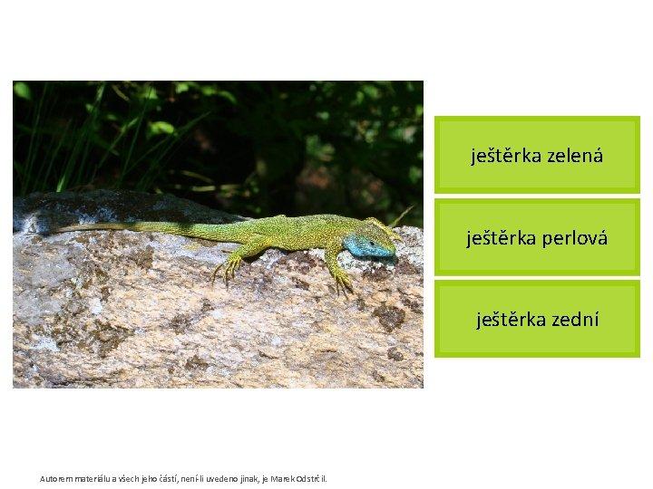 ještěrka zelená ještěrka perlová ještěrka zední Autorem materiálu a všech jeho částí, není-li uvedeno