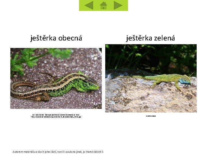 ještěrka obecná [cit. 2012 -10 -01]. Dostupný pod licencí Creative Commons na www: <http: