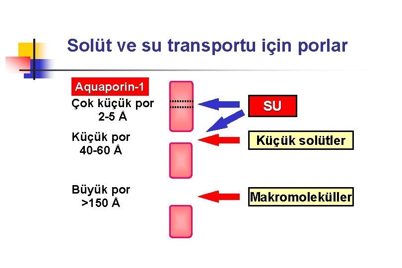Solüt ve su transportu için porlar Aquaporin-1 Çok küçük por 2 -5 Å SU