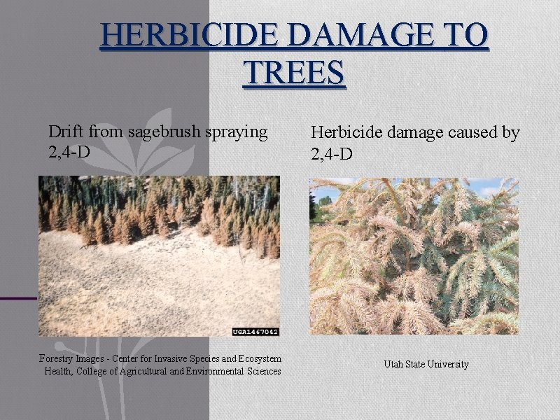 HERBICIDE DAMAGE TO TREES Drift from sagebrush spraying 2, 4 -D Forestry Images -