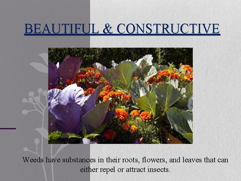BEAUTIFUL & CONSTRUCTIVE Weeds have substances in their roots, flowers, and leaves that can