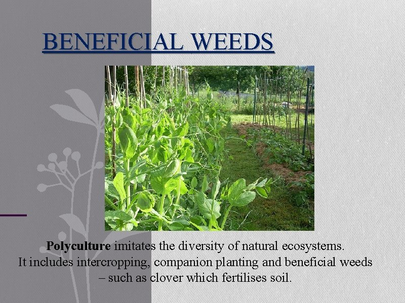 BENEFICIAL WEEDS Polyculture imitates the diversity of natural ecosystems. It includes intercropping, companion planting