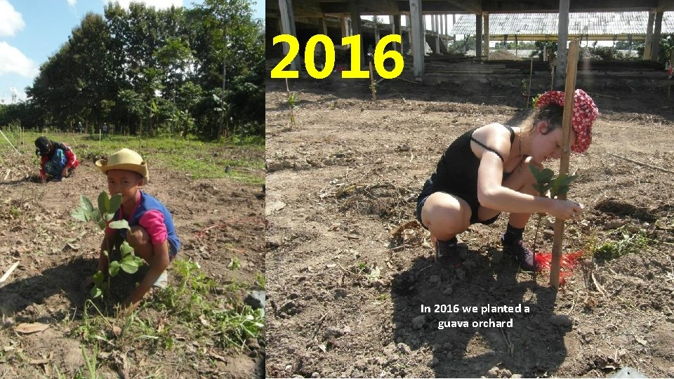 2016 In 2016 we planted a guava orchard