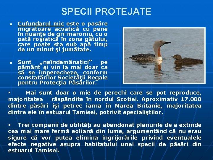 SPECII PROTEJATE n n Cufundarul mic este o pasăre migratoare acvatică cu pene în