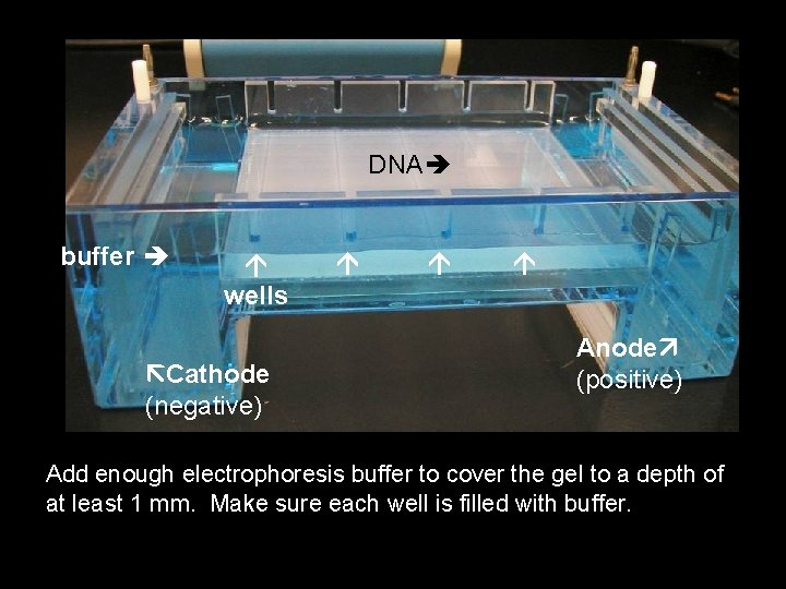 DNA buffer wells Cathode (negative) Anode (positive) Add enough electrophoresis buffer to cover the