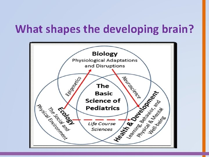 What shapes the developing brain?