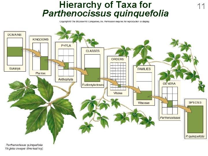 Hierarchy of Taxa for Parthenocissus quinquefolia 11