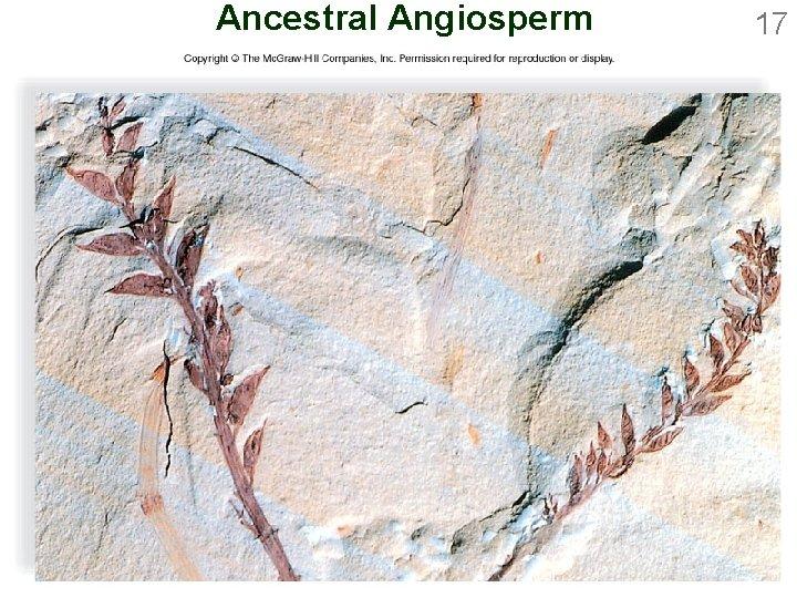 Ancestral Angiosperm 17