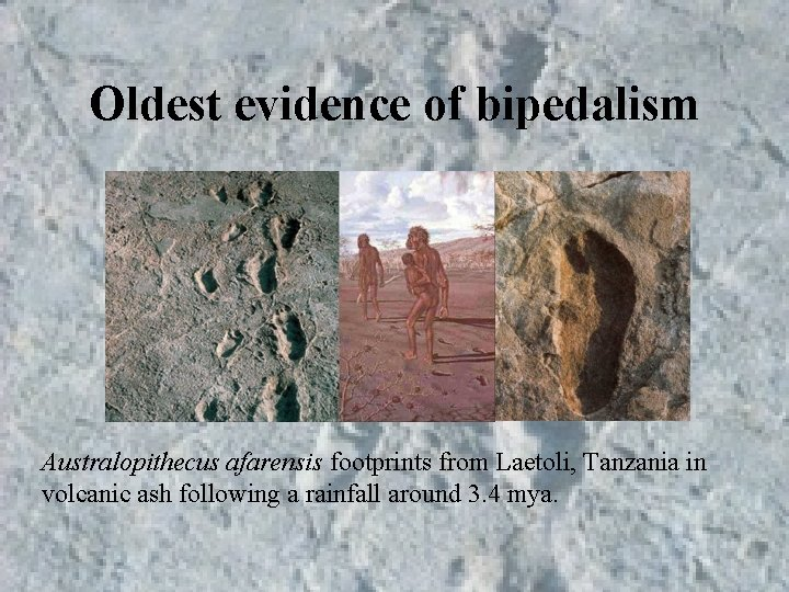 Oldest evidence of bipedalism Australopithecus afarensis footprints from Laetoli, Tanzania in volcanic ash following