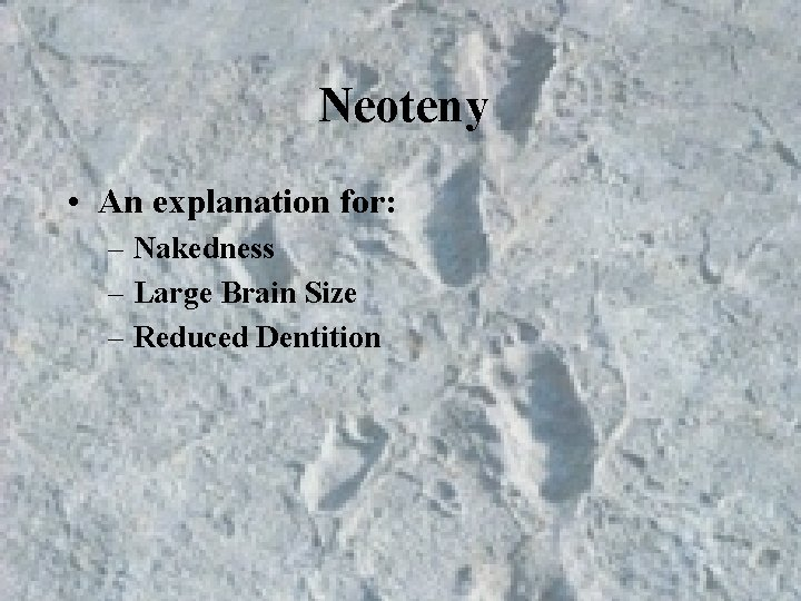 Neoteny • An explanation for: – Nakedness – Large Brain Size – Reduced Dentition