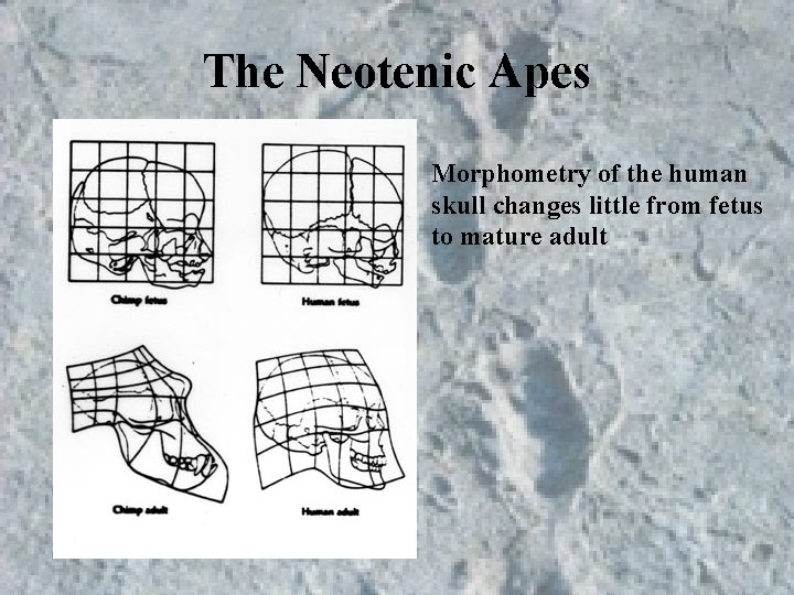 The Neotenic Apes Morphometry of the human skull changes little from fetus to mature